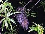 Alilicucu común (Tropical Screech-Owl)