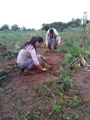 Marking of Curve Lines and Transplanting of Yerba mate
