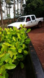 Delivery of Yerba mate Plants