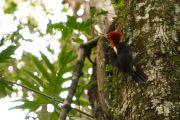 Robust Woodpecker, Carpintero grande, Ypeku guasu ka'aguy