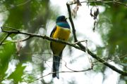 Black-Throated Trogon, Surucuá amarillo, Sukuku'a sa'yju