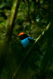 Swallow-tailed Manakin, Bailarin azul, Saraki hovy