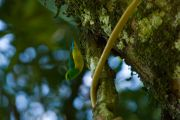 Blue-Naped Chlorophonia, Tangará bonito, Sai