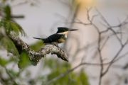 Green Kingfisher, Martín pescador chico, Javati'i