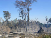 Burnt Virgin Forest