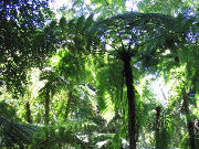 The Giant Ferns
