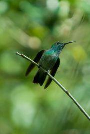 Versicolored Emerald Hummingbird, Picaflor esmeralda, Mainumby