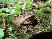 Ornate Forest Toad