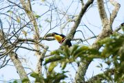 Red-breasted Toucan, Tucán pico verde, Tuka'i