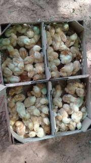 Entrega de pollitos