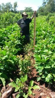 Monitoreo de abono verde
