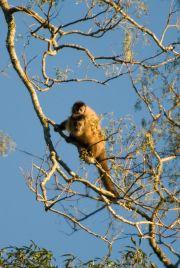 Hooded Capuchin Monkey