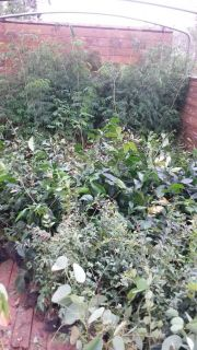 Entrega de plantines