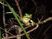 Reticulated Leaf Frog