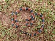 Painted Coral Snake